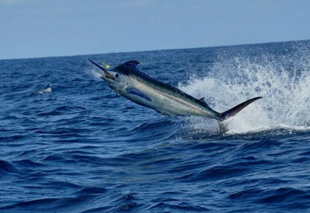 PacificBlueMarlin