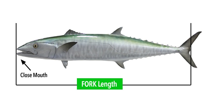 fish-measuring-FORK-length