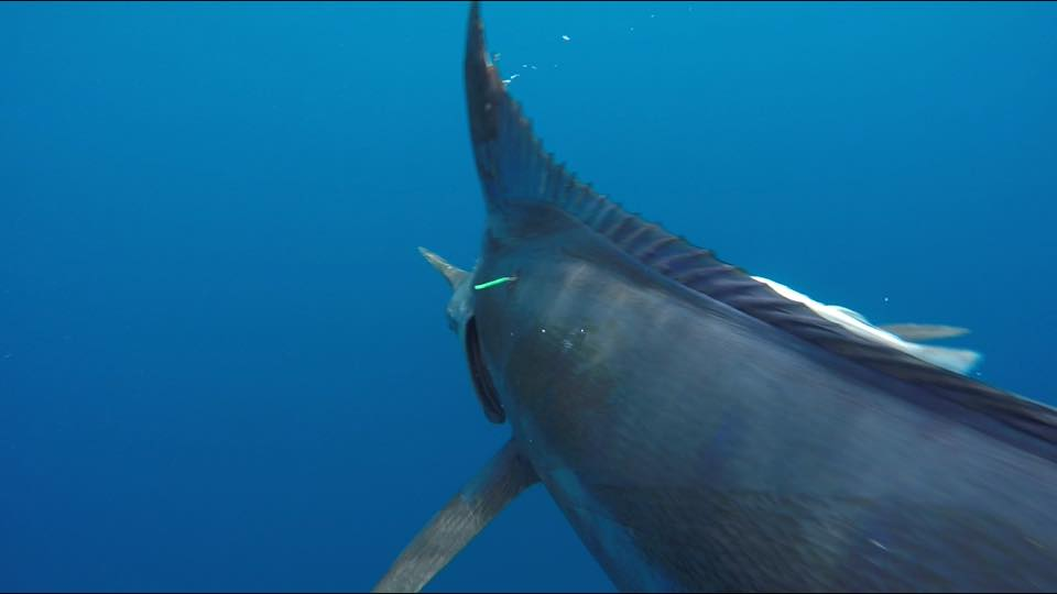 BlueMarlin--WithTag--Stock--301