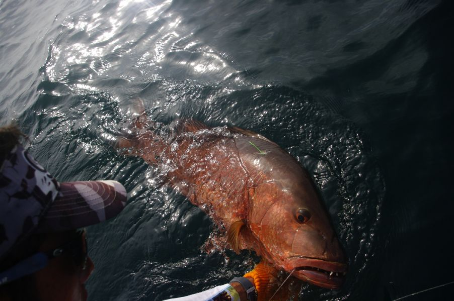 Cubera Snapper GrayFishTag Research