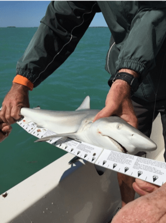 GFR3815 Blacktip lShark Meassured